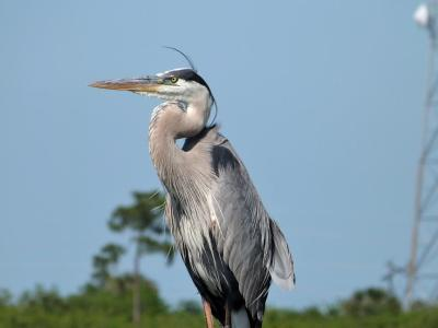 Great Blue Heron (Ardea herodias) Watching young nearby by Lee at Viera Wetlands