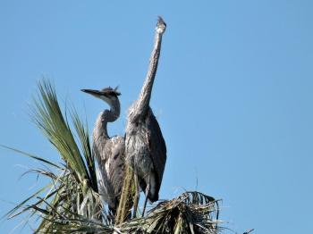 Great Blue Heron (Ardea herodias) Young by Lee at Viera Wetlands