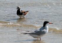 Ruddy Turnstone and Forster's Tern