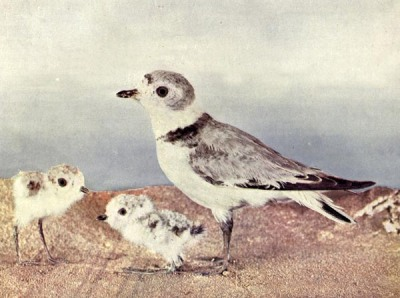 The Belted Piping Plover