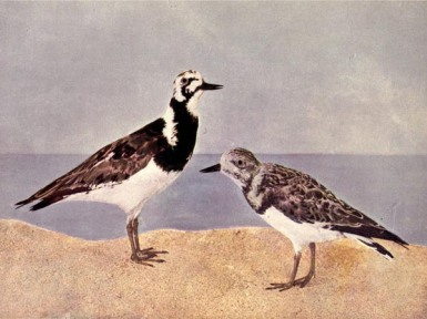 The Turnstone - Birds Illustrated by Color Photography