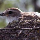 Vermilion Flycatcher (Pyrocephalus rubinus) Female on nest ©WikiC