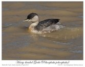 Hoary-headed Grebe (Poliocephalus poliocephalus) by Ian 1