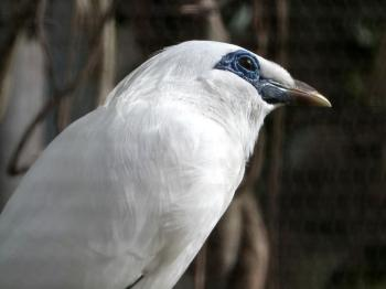 Bali Myna (Leucopsar rothschildi) by Lee
