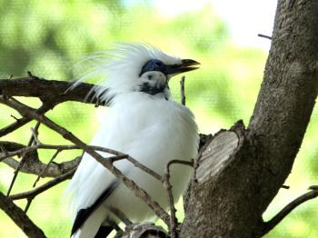 Bali Myna (Leucopsar rothschildi Palm Beach Zoo by Lee