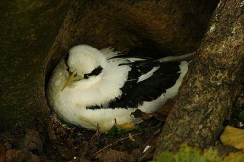 White-tailed Tropicbird (Phaethon lepturus) ©WikiC