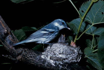 Cerulean Warbler (Dendroica cerulea) at nest ©L Walkinshaw