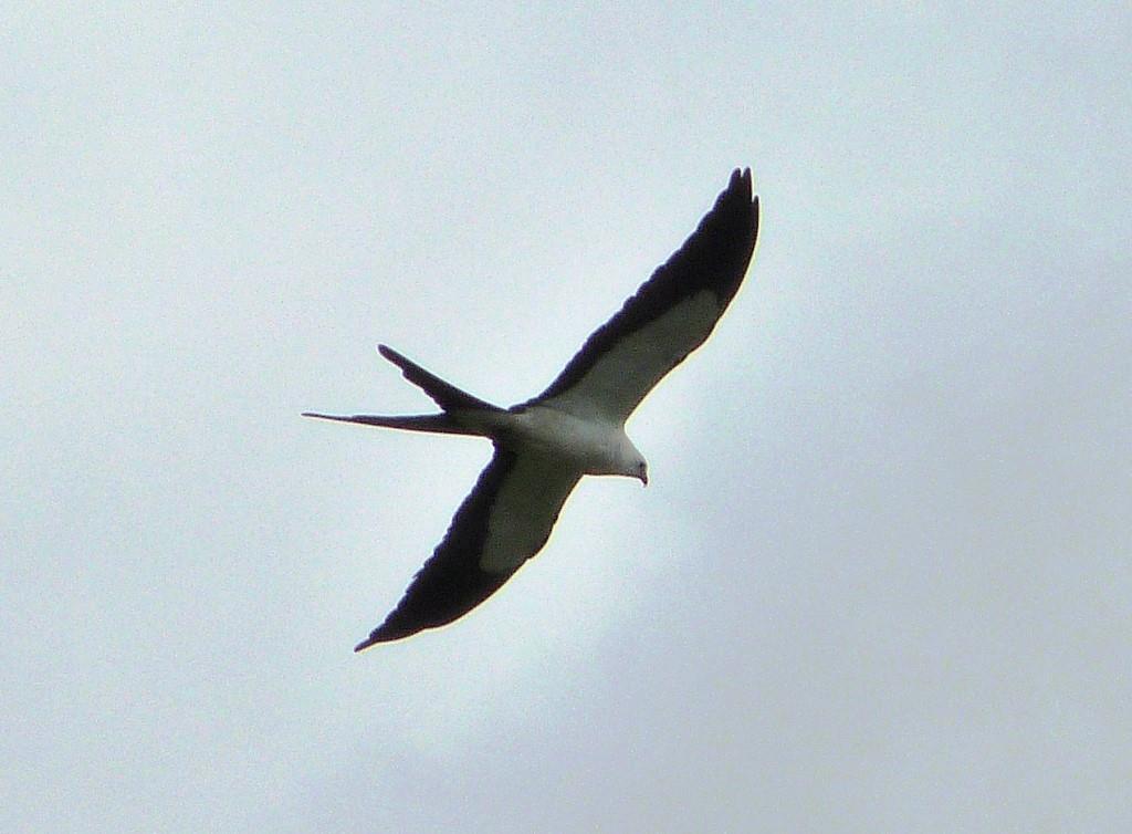 Swallow-tailed Kite (Elanoides forficatus) at Circle B