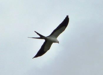 Swallow-tailed Kite (Elanoides forficatus) at Circle B