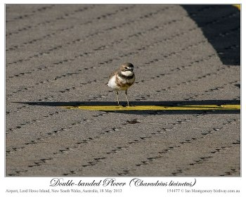 Double-banded Plover (Charadrius bicinctus) by Ian 3