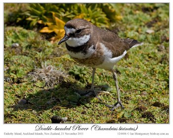 Double-banded Plover (Charadrius bicinctus) by Ian 4