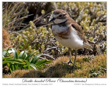 Double-banded Plover (Charadrius bicinctus) Female by Ian 5