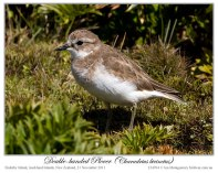 Double-banded Plover (Charadrius bicinctus) Adult in non-breeding plumage by Ian 6