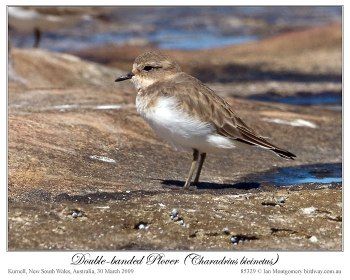 Double-banded Plover (Charadrius bicinctus) Immature by Ian 7