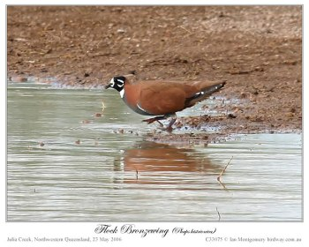 Flock Bronzewing (Phaps histrionica) by Ian 1