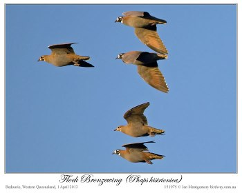 Flock Bronzewing (Phaps histrionica) by Ian 4