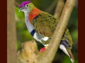 Superb Fruit Dove (Ptilinopus superbus) ©FreeWallpaper