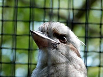 Laughing Kookaburra (Dacelo novaeguineae) at LPZoo