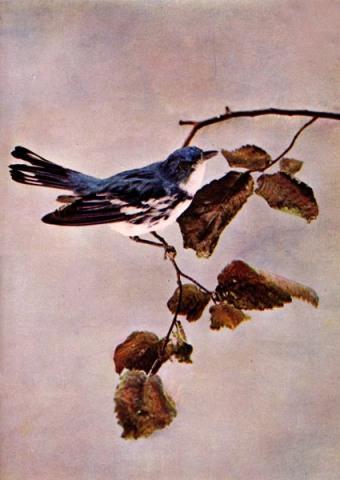 Cerulean Warbler (Setophaga cerulea)