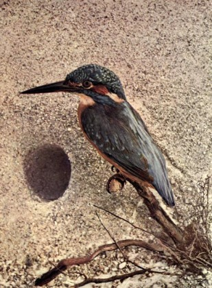 Common Kingfisher (Alcedo atthis) European Kingfisher for Birds Illustrated by Color Photography
