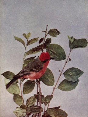THE VERMILION FLY-CATCHER