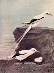 White-tailed Tropicbird (Phaethon lepturus) Birds Illustrated by Color