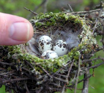 Vermilion Flycatcher (Pyrocephalus rubinus) Eggs ©WikiC