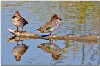 Green-winged Teal (Anas carolinensis) by Daves BirdingPix