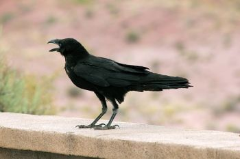 Chihuahuan Raven (Corvus cryptoleucus) ©WikiC