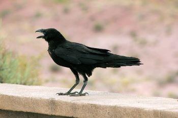 Chihuahuan Raven (Corvus cryptoleucus) ©WikiC