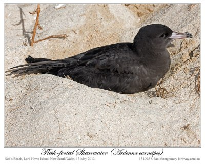 Flesh-footed Shearwater (Puffinus carneipes) by Ian 2