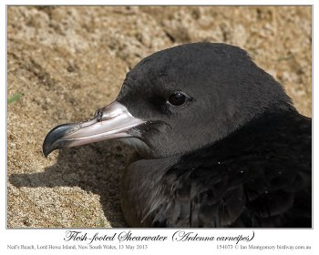 Flesh-footed Shearwater (Puffinus carneipes) by Ian