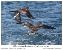 Flesh-footed Shearwater (Puffinus carneipes) by Ian 4