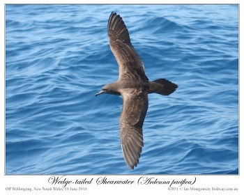 Wedge-tailed Shearwater (Puffinus pacificus) by Ian