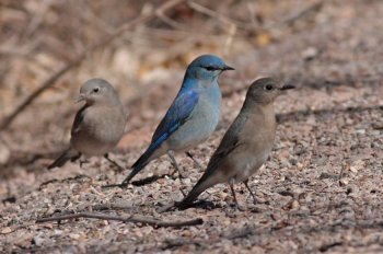 Mountain Bluebird (Sialia currucoides) by Margaret Sloan