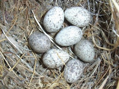 House Sparrow (Passer domesticus) Eggs ©WikiC
