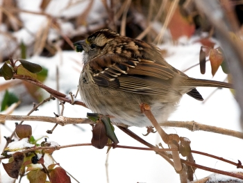 White-throated Sparrow (Zonotrichia albicollis) by Anthony