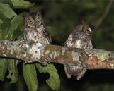 Rinjani Scops Owl (Otus jolandae) ©WikiC