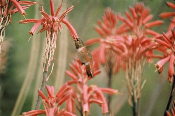 Allen's Hummingbird (Selasphorus sasin) at flower ©WikiC