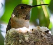 Allen's Hummingbird (Selasphorus sasin) ©WikiC