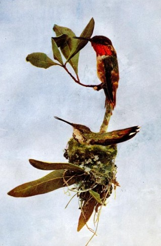 Allen's Hummingbird (Selasphorus sasin) for Birds Illustrated