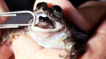 Male Darwin Frog ©©