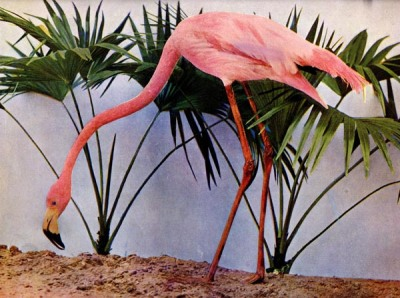 American Flamingo (Phoenicopterus ruber) for Birds Illustrated