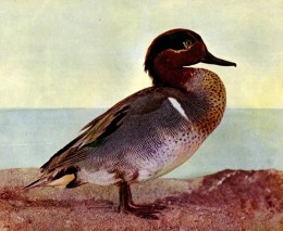 Vol 2, #6 – The Green-winged Teal