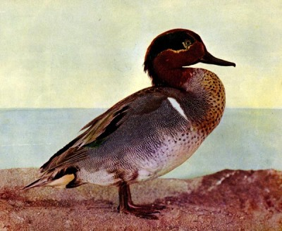 Green-winged Teal (Anas carolinensis) for Birds Illustrated