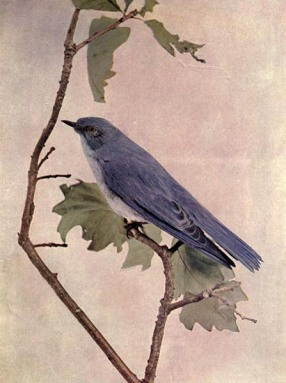 Mountain Bluebird (Sialia currucoides) for Birds Illustrated
