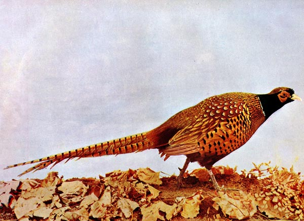 "Common Pheasant (Phasianus colchicus) ""Ring-necked"" for Birds Illustrated"
