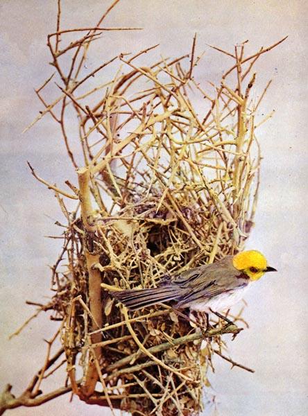 Verdin (Auriparus flaviceps) for Birds Illustrated