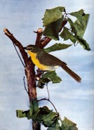 Yellow-breasted Chat (Icteria virens) for Birds Illustrated