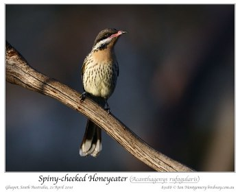 Spiny-cheeked Honeyeater (Acanthagenys rufogularis) by Ian